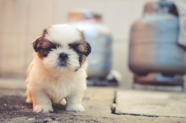 cute-dog-furry-69372